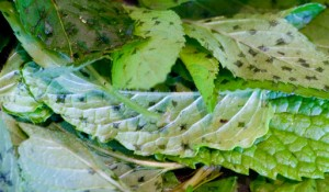 Mint leaves prepared for vinegar infusion