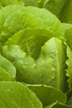 Braveheart Lettuce